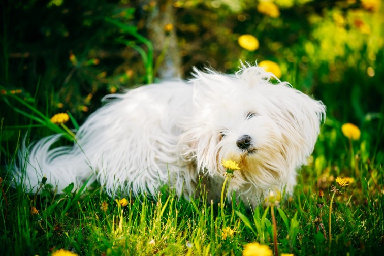 A white dog rolling around in a field