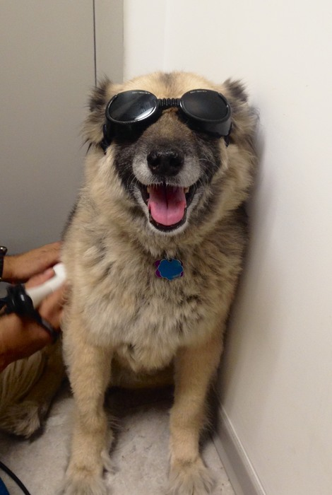 A dog wearing protective goggles