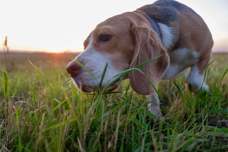 A dog sniffing through the grasses