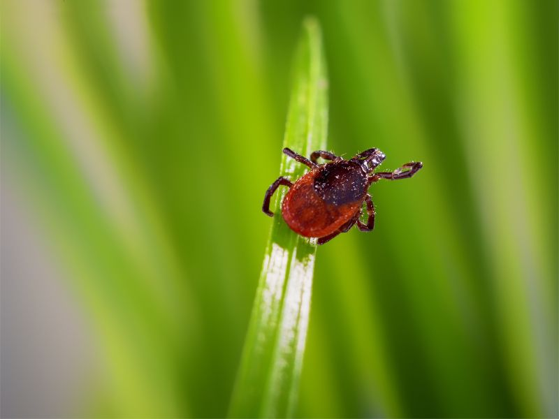 A tick on a blade of grass