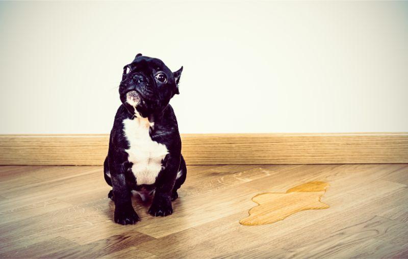 A black pug sitting on the floor