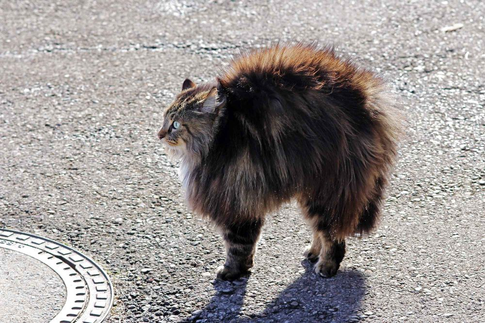 Fluffy cat arching its back