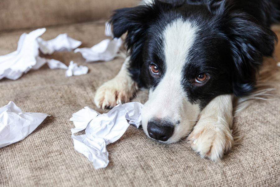 A dog lies down among ripped up paper.