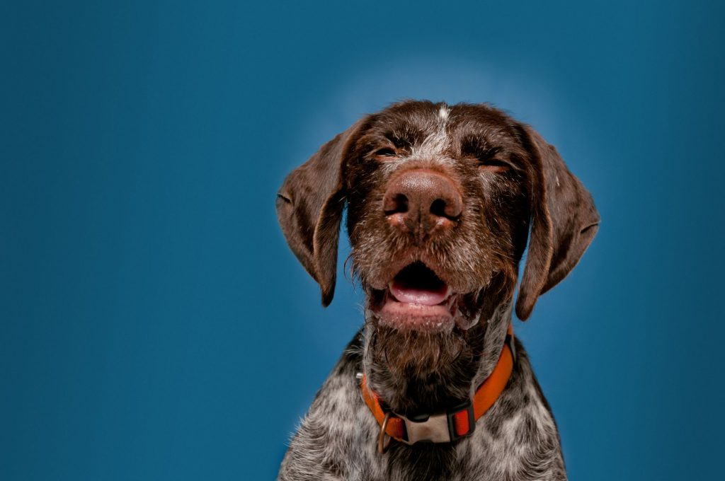 A dog sneezes against a dark blue background.