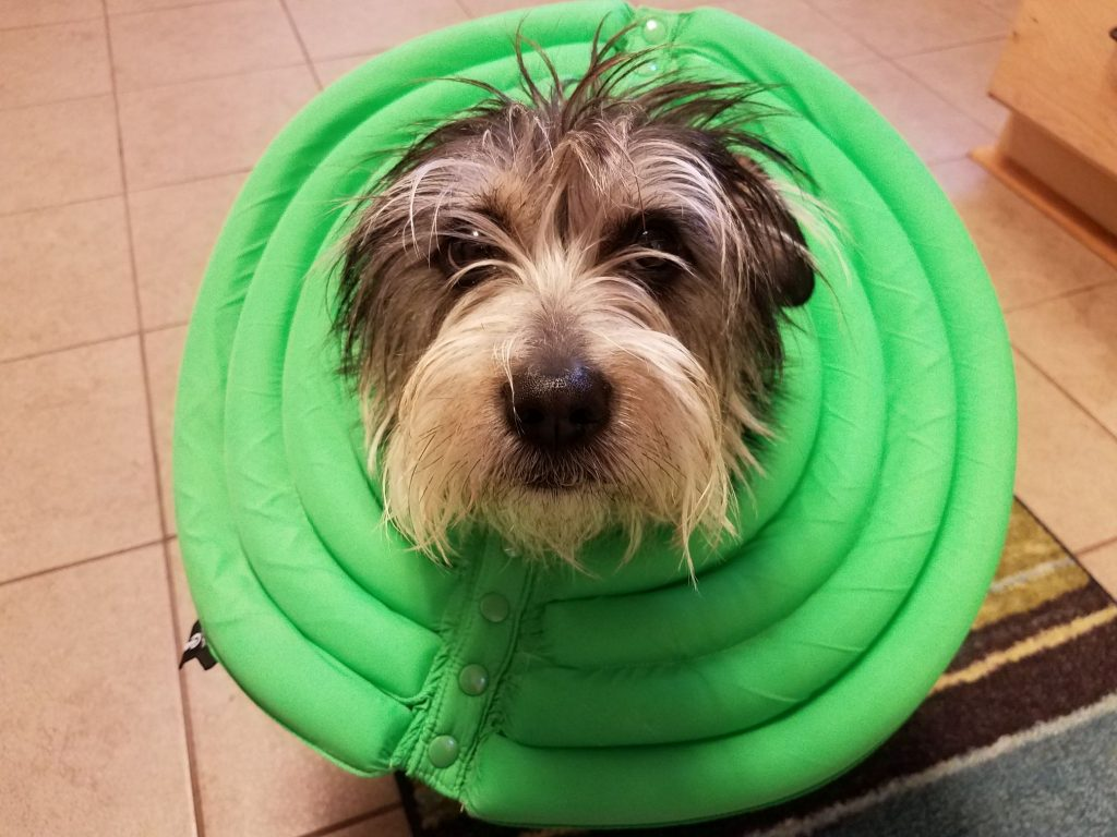 A dog in a green e-collar after surgery.