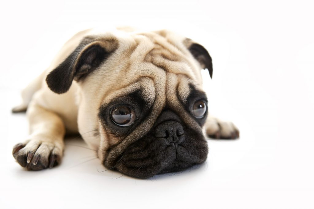 A white pug looks sad about his dog paw problems.